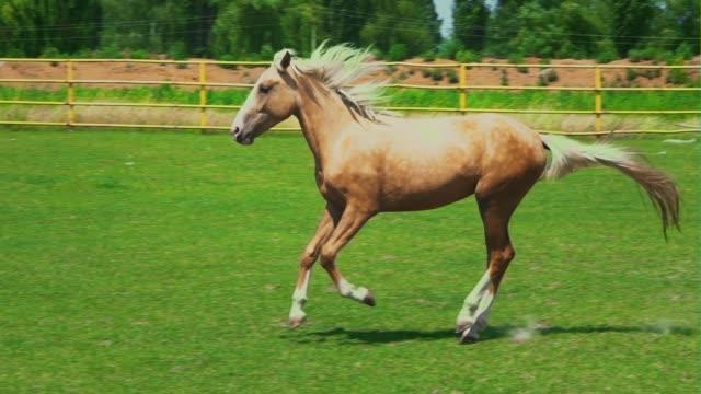 ein braun-ashy pferd im galopp über dem grünen rasen im fahrerlager bauernhof - hengst stock-videos und b-roll-filmmaterial