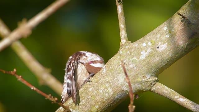 brown-capped pygmy woodpecker in bardia national park, nepal - park narodowy kanha filmów i materiałów b-roll