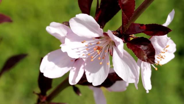 brunch of spring cherry - albicocco video stock e b–roll