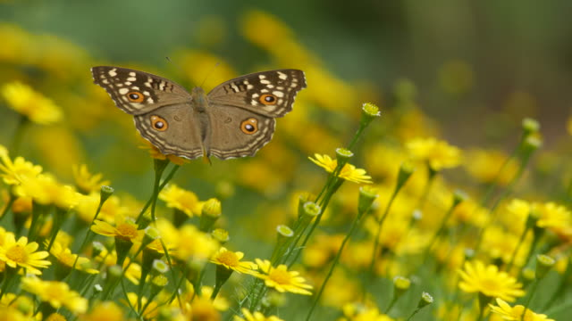 brush-footed butterfly resting on Dahlberg Daisy flower video