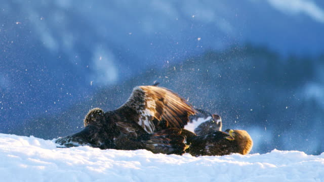 Video Brutal fight between two large eagles in the mountains at winter