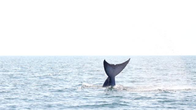vidéos et rushes de de bryde rorqual balaenoptera edeni manger - baleine
