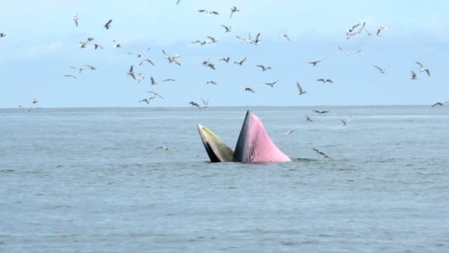 vidéos et rushes de rorqual de bryde, baleine de l'eden, manger des poissons au golfe de thaïlande. - baleine