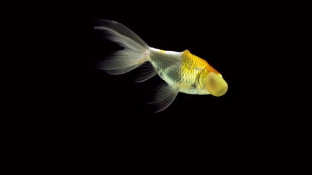 Bubble eye goldfish video