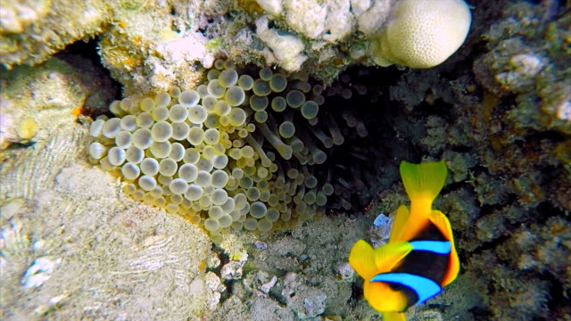 Bubble Tip Sea Anemones ( Entacmaea quadricolor ) and Clownfish on Red Sea - Marsa Alam video