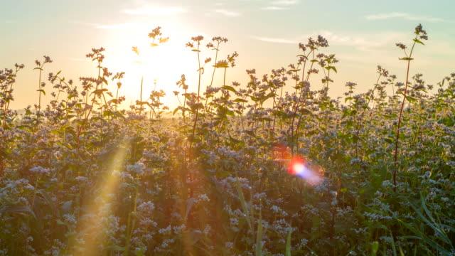 T/L Buckwheat At Sunrise video