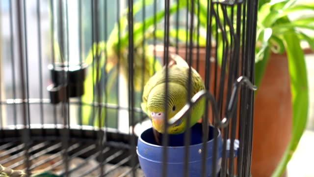 kuş kafesi içinde yemek muhabbet kuşu - kafes sınırlı alan stok videoları ve detay görüntü çekimi
