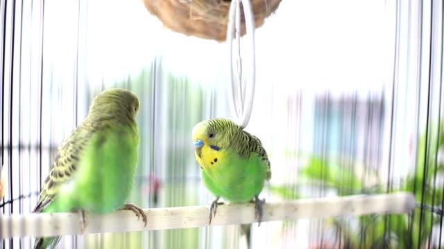 budgerigars kuş kafesi öpüşme - kafes sınırlı alan stok videoları ve detay görüntü çekimi