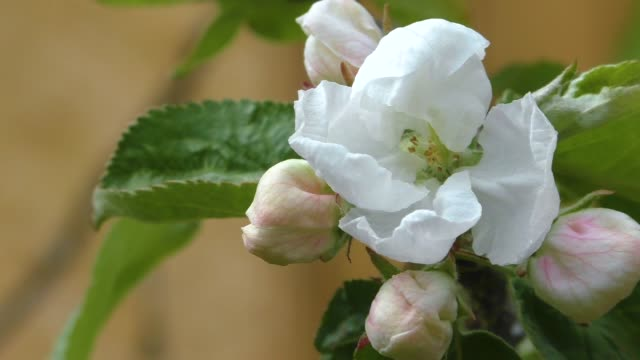 buds of apple trees bloom. - stame video stock e b–roll