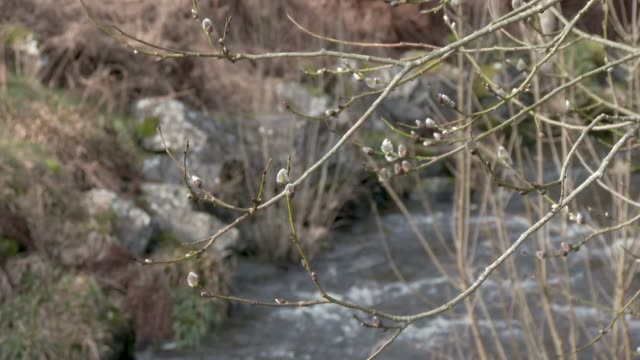 Buds on a tree blowing in the wind with a river in the background 4K footage shot at 59.94fps and interpreted to 23.976 to give slow motion dumfries and galloway stock videos & royalty-free footage
