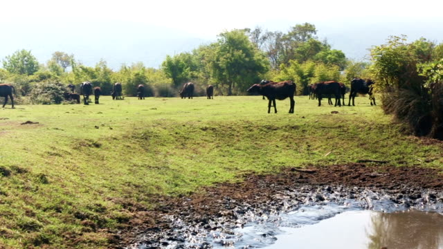 Buffalo bathes in wallow with herd at the background