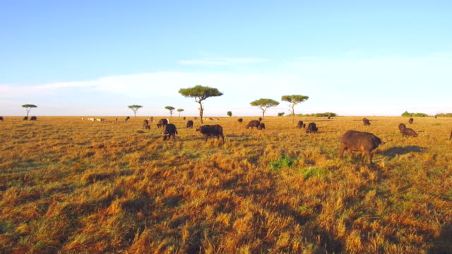 vídeos de stock e filmes b-roll de buffalo bulls grazing in maasai mara national reserve savanna at africa - quénia