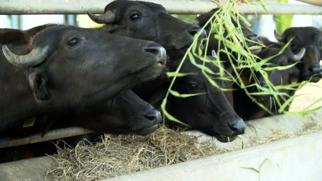 4 k : buffalo su allevamento di bestiame mangiare erba e paglia - paglia video stock e b–roll