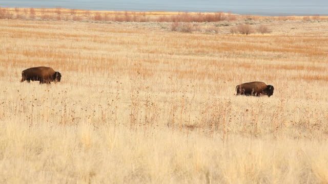 Buffalo Grazing and Walking  prairie stock videos & royalty-free footage