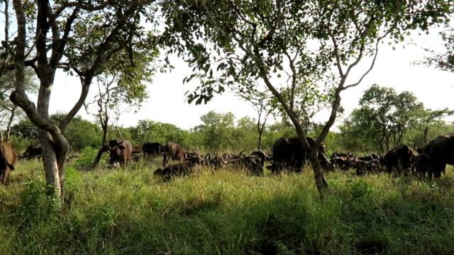 Buffalo Herd in Kruger Wildlife Reserve video
