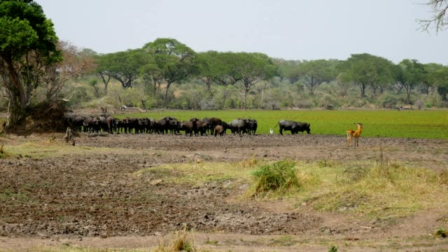 Buffalo In The Field Pasture In The African Savannah