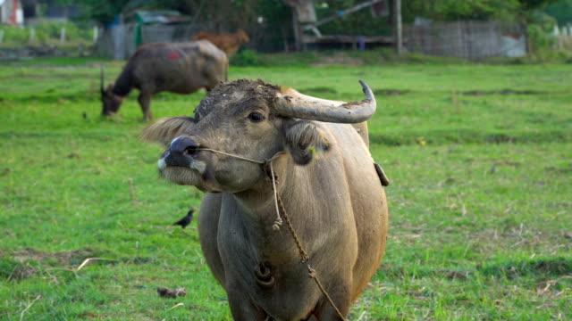 buffalo lifestyle on Grass Field video