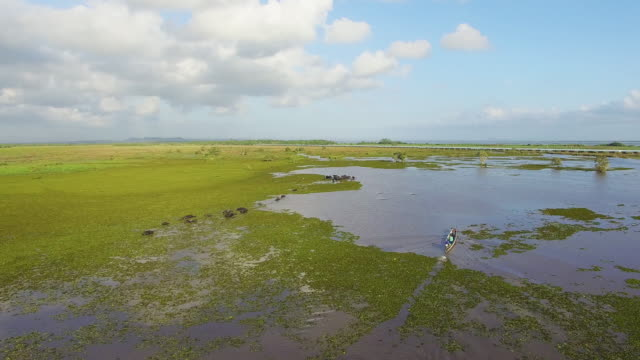 Buffalo live in swamps Feeding by diving. video