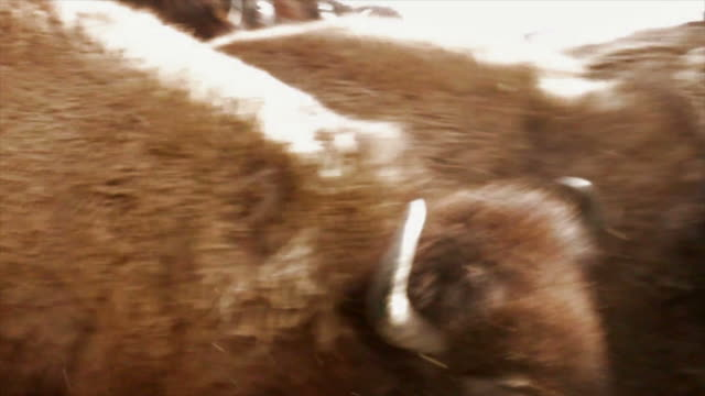 buffalo na ba - stier stock-videos und b-roll-filmmaterial