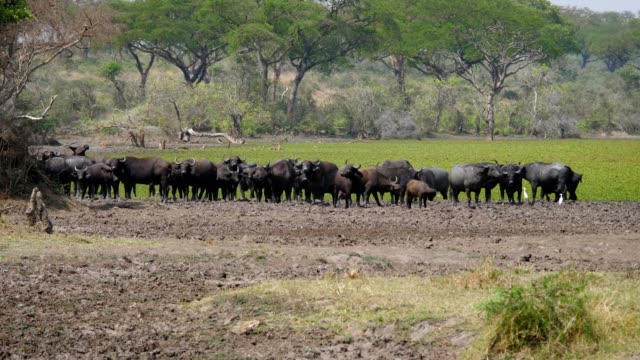 Buffalo Stand On Trampled Shore Of Pond With Green Water In The African Savanna