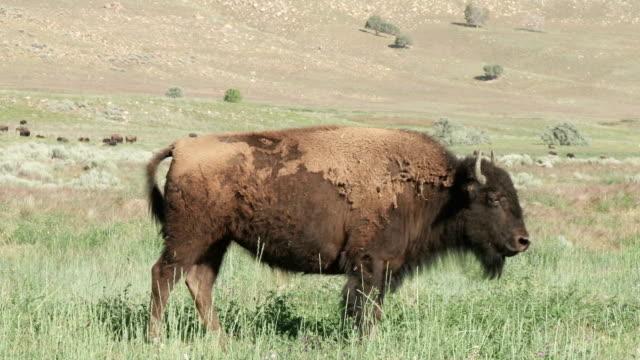 buffalo - prateria zona erbosa video stock e b–roll