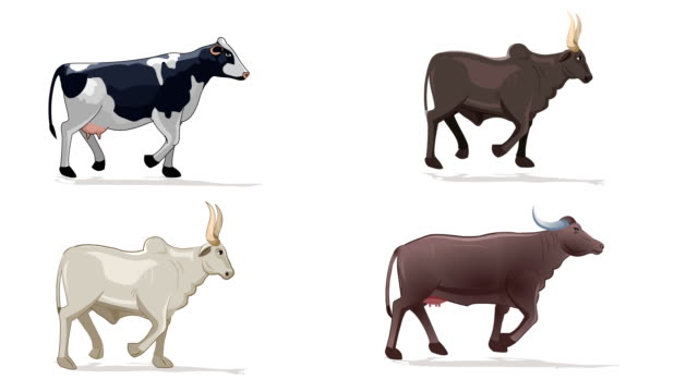 Buffalo,Cow And Bull Walk cycle animation
