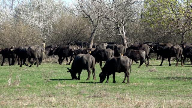 Buffalos Grazing in a Meadow video