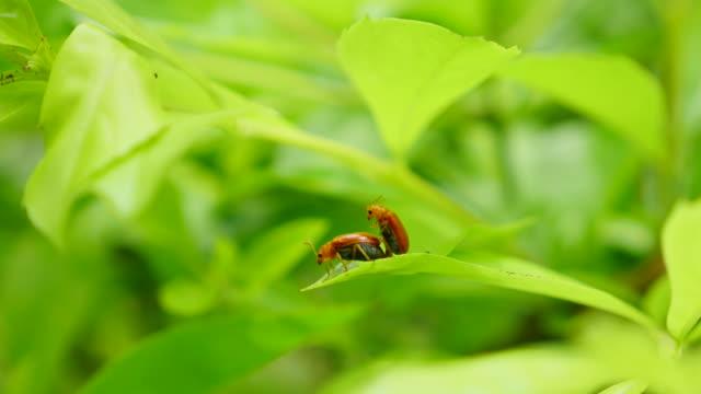 Bug breeding on green leaf. Bug breeding on green leaf. videos of dogs mating stock videos & royalty-free footage