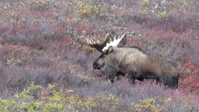 bull alaska moose im herbst - elch stock-videos und b-roll-filmmaterial