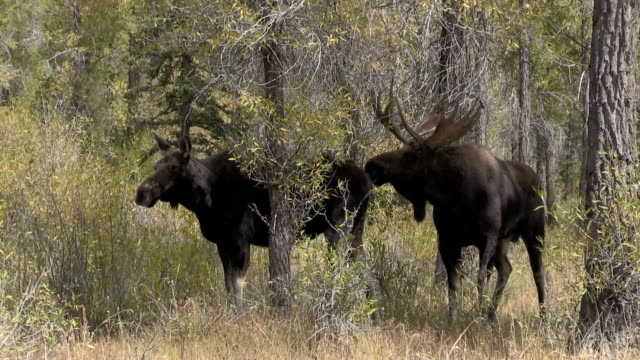 Bull and Cow Moose in Rut video