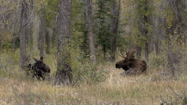 Bull and Cow Shiras Moose in Rut video