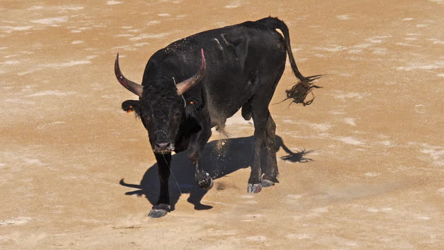 vídeos de stock e filmes b-roll de bull during a camarguaise race, a sport in which participants try to catch award-winning attributes fixed to the forehead and the horns of a bull named cocardier, les saintes maries de la mer in the camargue, south east of france, slow motion - touro animal macho