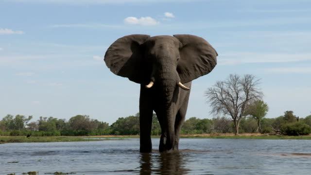 A bull elephant drinking at river ,Botswana video