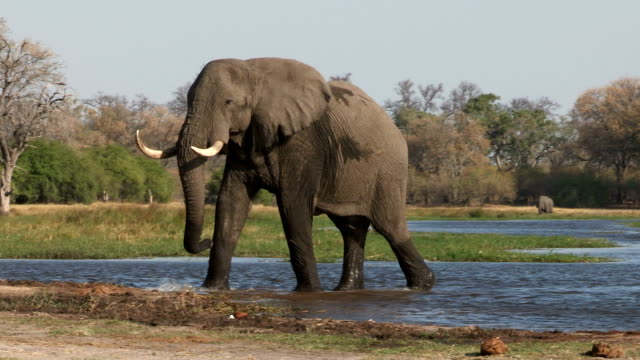Bull elephant emerging out of a river in the Okavango Delta video