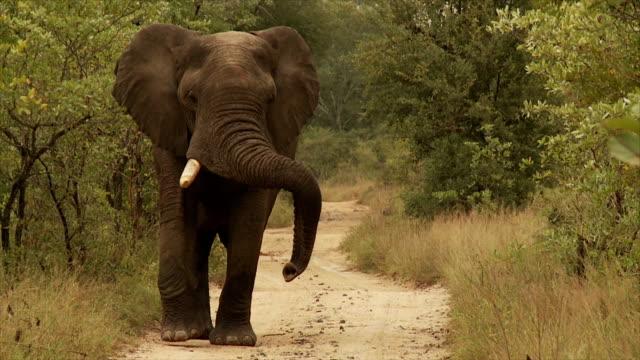 Bull Elephant video