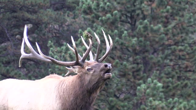 Bull Elk Bugling in Rut video