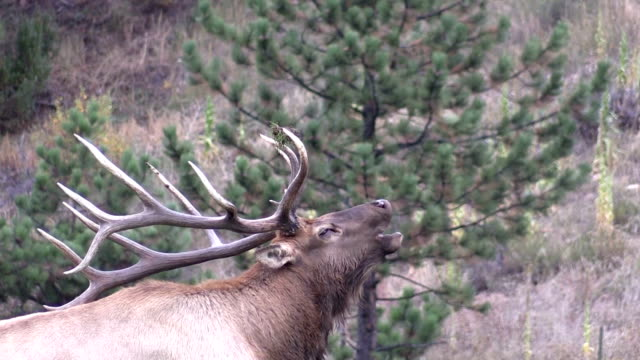 Bull Elk Bugling in the Rut video