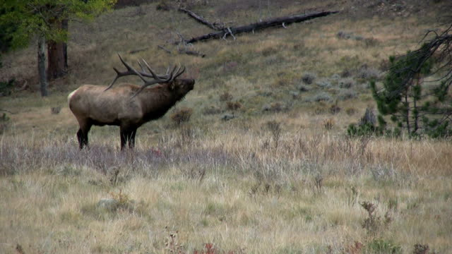 Bull Elk Bugling video