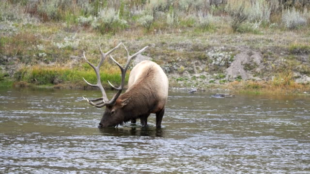 bull elk drinking from a river in yellowstone