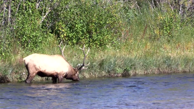 Bull Elk Drinking in a River