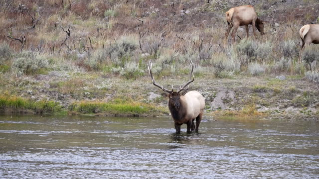bull elk stands in the madison river at yellowstone