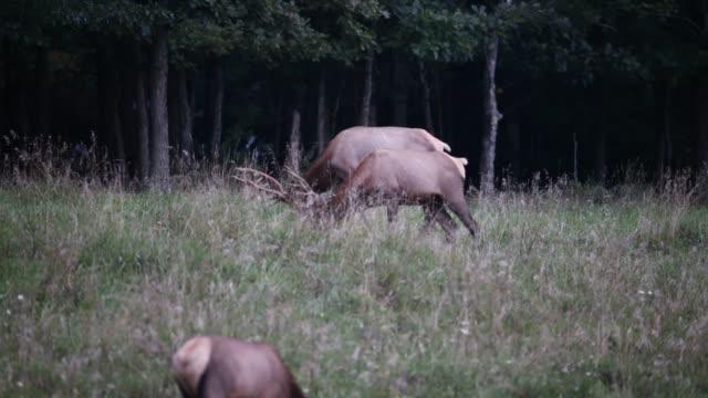 bull elk - poroże filmów i materiałów b-roll