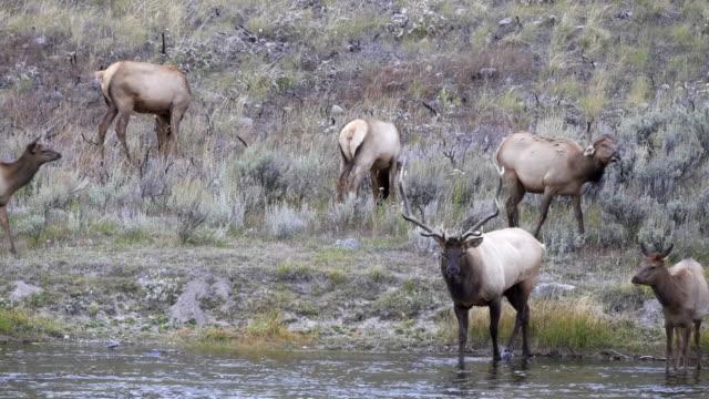 bull elk walks into madison river at yellowstone