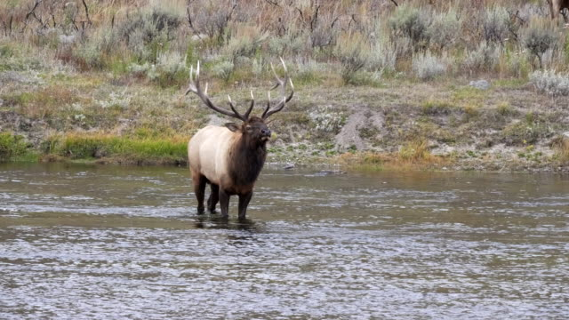 bull elk with head up stands in the madison river of yellowstone