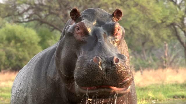 bull hippo laden in richtung kamera, botswana - schnauze stock-videos und b-roll-filmmaterial