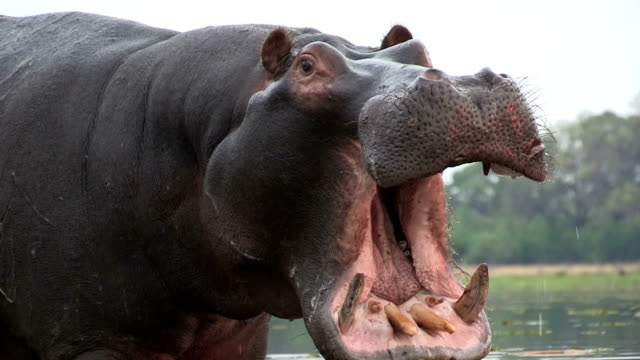 Bull hippo with mouth open in aggressive stance,Botswana video