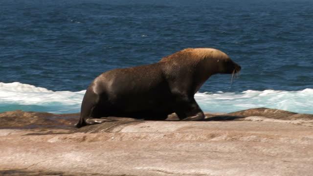 Bull / Male Sea Lion video