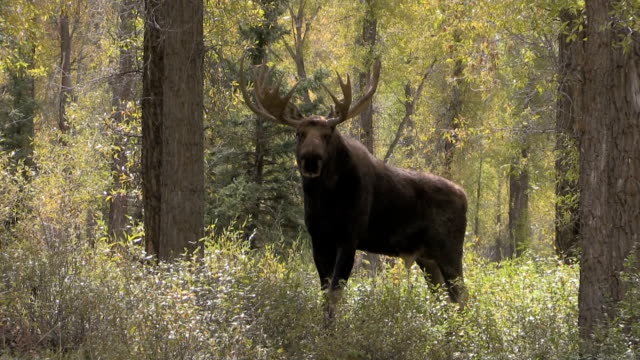 Bull Moose in Fall video
