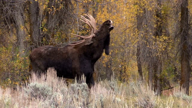 Bull Moose in Rut video