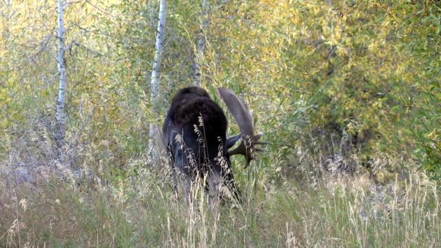 bull moose in fortgeschrittene - elch stock-videos und b-roll-filmmaterial